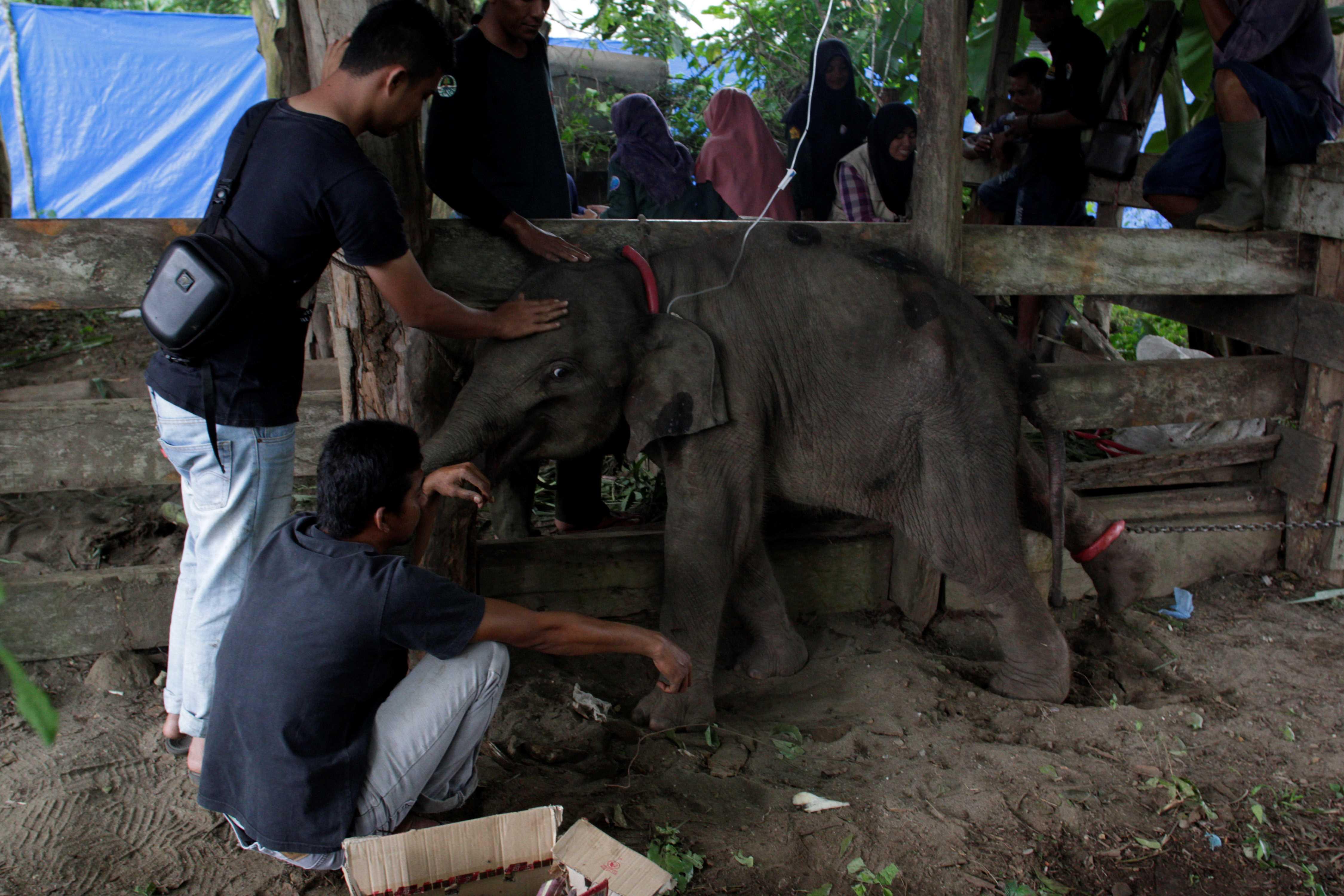 %C4%B0avru+Sumatra+fili+tedavi+edildi
