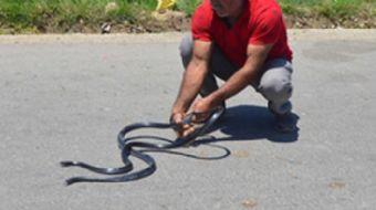 Batman'da hava sıcaklıklarının artması ile birlikte tarlalarda yaşayan yılanlar serinlemek ve beslen