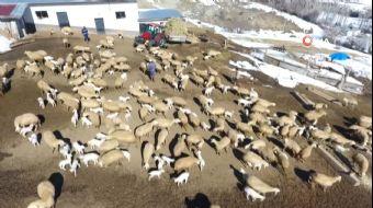 Kayseri´nin Pınarbaşı ilçesinde kuzuların annelerine kavuşurken yaşadığı heyecan saniye saniye gör