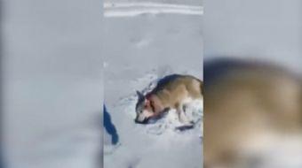 Ölü taklidi yapan kurt avcıya saldırdı o anlar sosyal medyada rekor kırdı