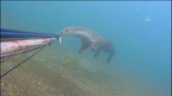 Rize´nin Çayeli ilçesinde, amatör balıkçı tarafından, Dünya Doğa ve Doğal Kaynakları Koruma Birliğin
