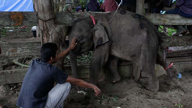 Yavru Sumatra fili tedavi edildi