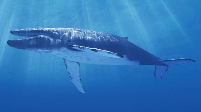 mavi balina ile ilgili görsel sonucu