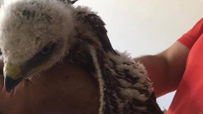 Van'da bulunan yavru kızıl şahin devlet tarafından koruma altına alındı