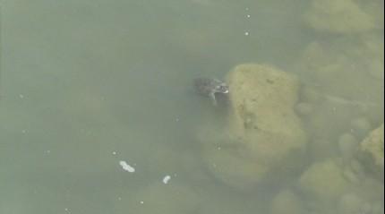 'Bölgede sık sık depremler oluyor, Savrun çayı çamur kaynadı' dedikodusunun altından kaplumbağalar çıktı