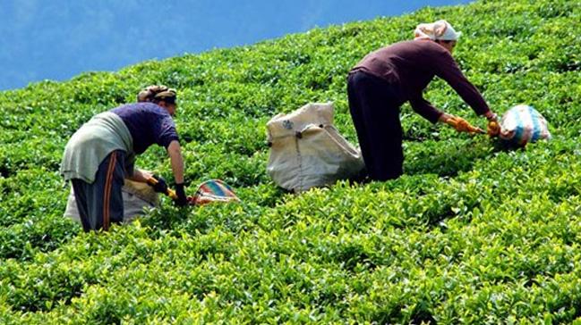 ÇAYKUR'da yaş çay alımında artış
