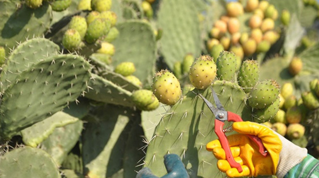 Mersin'de dikenli incir hasadı başladı
