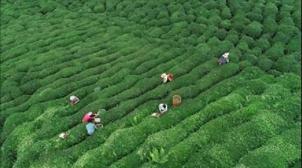 ÇAYKUR yaş çay alımında 714 bin tonla tarihinin en yüksek ikinci alım rakamına ulaştı