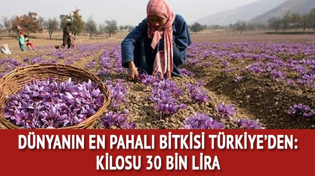 Safranbolu'da safran hasadı
