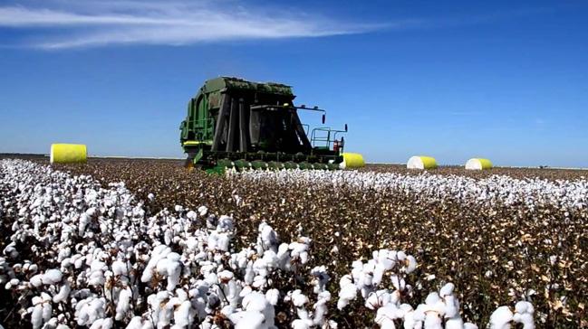 'Makineli hasat' pamuk üreticisinin yüzünü güldürüyor