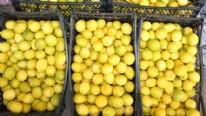 Limon ihracatında yüzler gülüyor