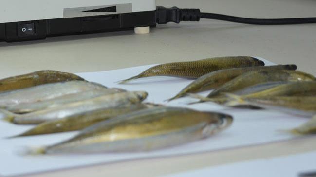 Merkez Haberleri: Karadenizdeki 2 balık türünde hastalık yapan parazit tespit edildi 7