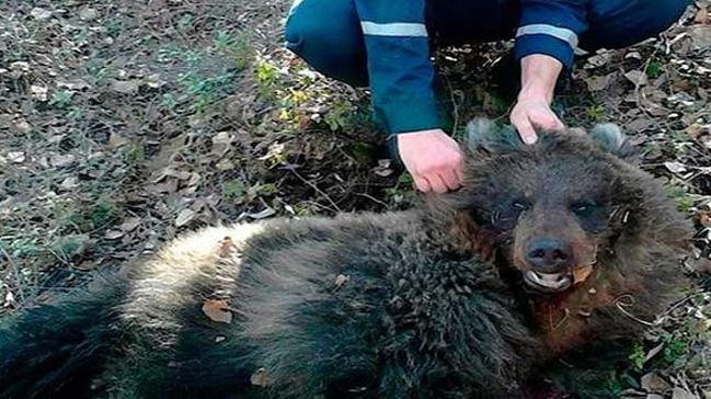 ABD'de ayı saldırısına uğrayan kadını köpeği kurtardı